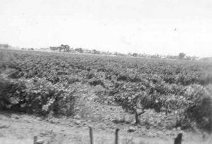 Vineyard 1930's